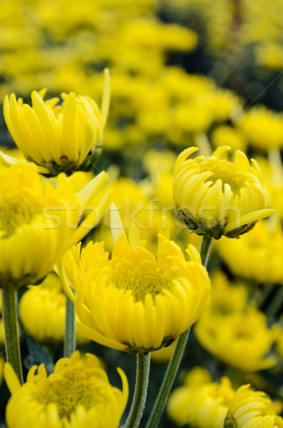 Close up yellow Chrysanthemum flowers in garden Stock photo © Yongkiet