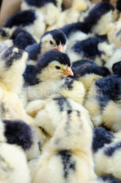 Chicks for sale Stock photo © Yongkiet