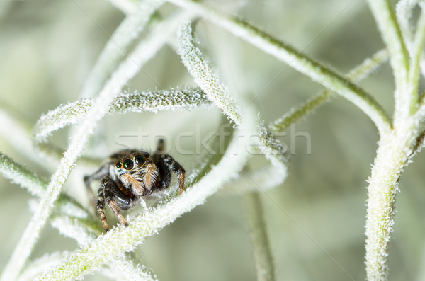 Jumping spider hiding in aerial roots of Spanish moss Stock photo © Yongkiet