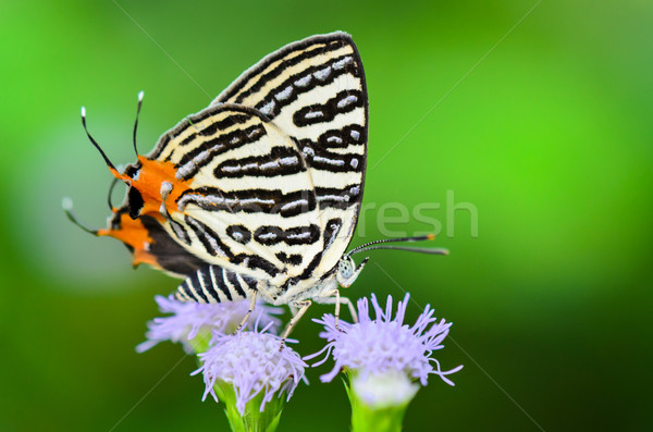 Club Silverline or Spindasis syama terana, white butterfly eatin Stock photo © Yongkiet