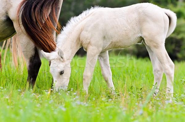 White foal graze near the mother Stock photo © Yongkiet