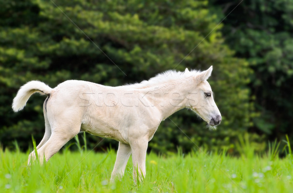 Stock photo: White horse foal in green grass