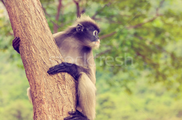 Vintage Dusky leaf monkey or Trachypithecus obscurus on tree Stock photo © Yongkiet