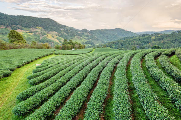 Paisaje té verde plantación hermosa naturales montanas Foto stock © Yongkiet