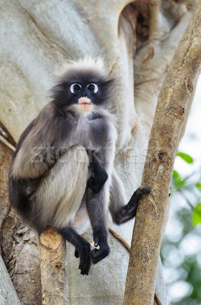 Dusky leaf monkey or Trachypithecus obscurus on tree Stock photo © Yongkiet