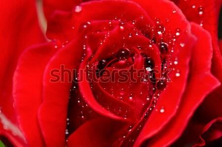 Rood rose waterdruppels versheid bloem water Stockfoto © Yongkiet