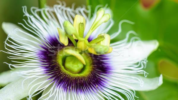 Exotic beautiful flower Stock photo © Yongkiet