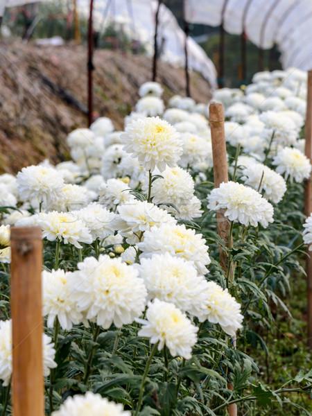 Fehér krizantém virágok kert hegy fény Stock fotó © Yongkiet