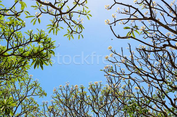 árvores flor verão Tailândia natureza folha Foto stock © Yongkiet