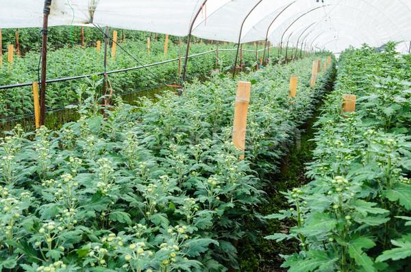 Inside greenhouse of Chrysanthemum flowers farms Stock photo © Yongkiet