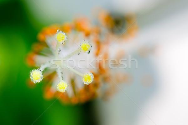 Carpel of the white Hibiscus flowers Stock photo © Yongkiet