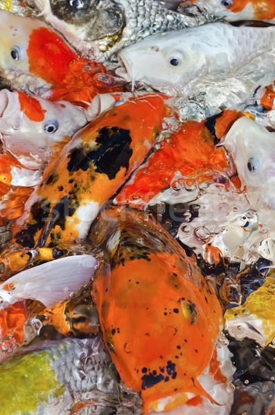 カラフル 多くの ニシキゴイ 鯉 一緒に ストックフォト © Yongkiet