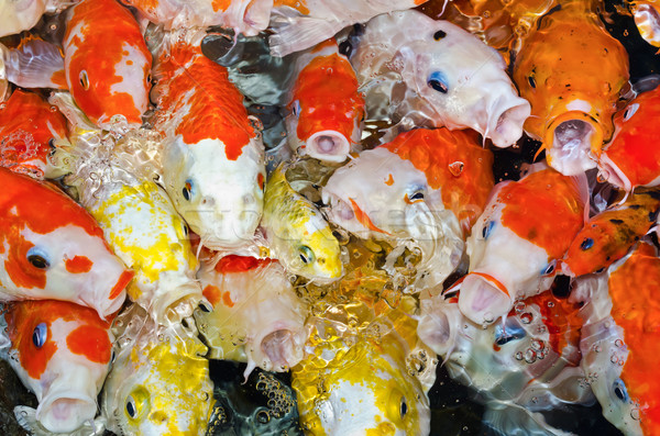 Colorful many Koi Carp Stock photo © Yongkiet