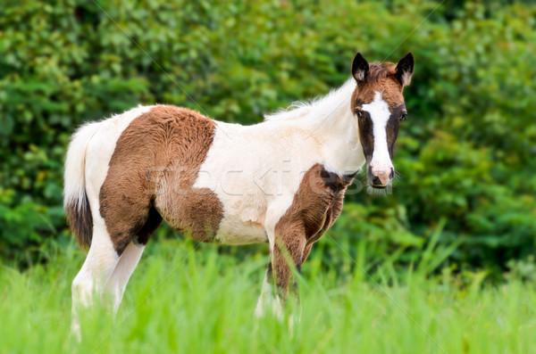 Young horses looking in meadow Stock photo © Yongkiet