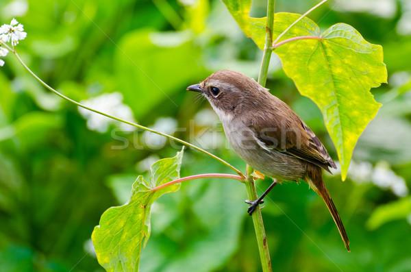 Grey Bushchat bird (female) Stock photo © Yongkiet