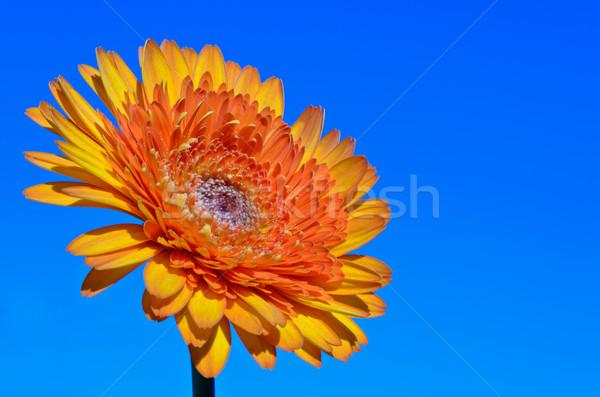 Orange Gerbera flower on sky background Stock photo © Yongkiet