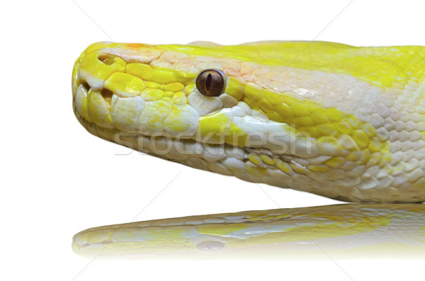 Head albino python snake isolated on white Stock photo © Yongkiet