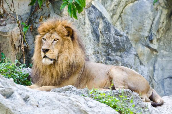 Masculino leão cor cabeça animal sessão Foto stock © Yongkiet