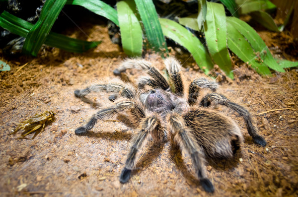 Tarantula large spider Stock photo © Yongkiet