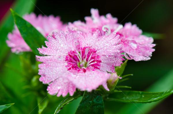 ピンク 花 露 値下がり 甘い ストックフォト © Yongkiet