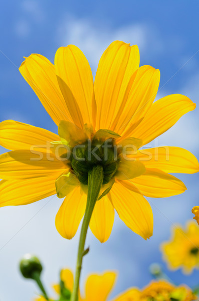 Close up Mexican Sunflower Weed, Flowers are bright yellow Stock photo © Yongkiet