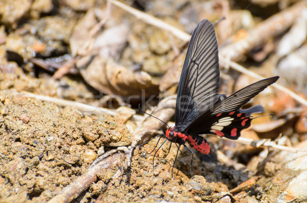 Rose Swallowtail butterfly with red and black eating salt licks Stock photo © Yongkiet