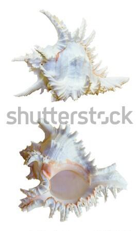 シェル 種 海 カタツムリ 海洋 家族 ストックフォト © Yongkiet