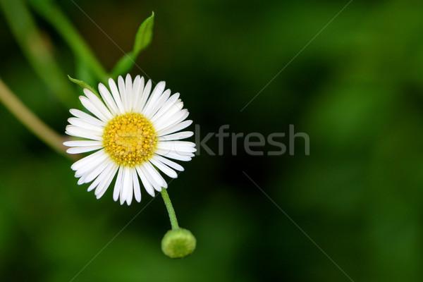 Daisy flower on green background Stock photo © Yongkiet