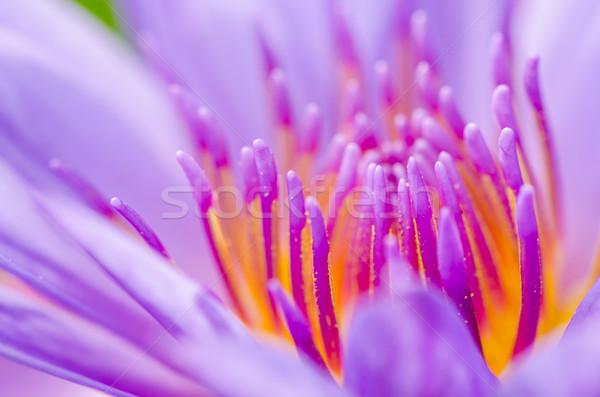 Macro pollen of purple lotus ( Nymphaea Nouchali ) Stock photo © Yongkiet