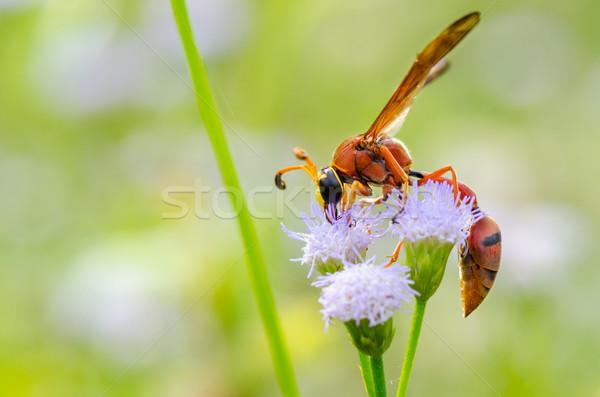 Vespa insetti mangiare nettare fiore natura Foto d'archivio © Yongkiet