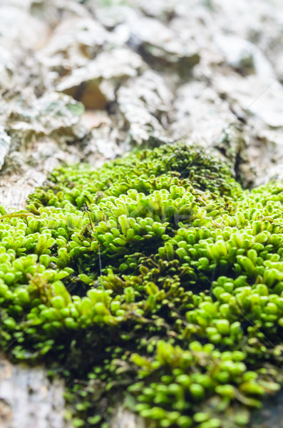Moss on the tree Stock photo © Yongkiet