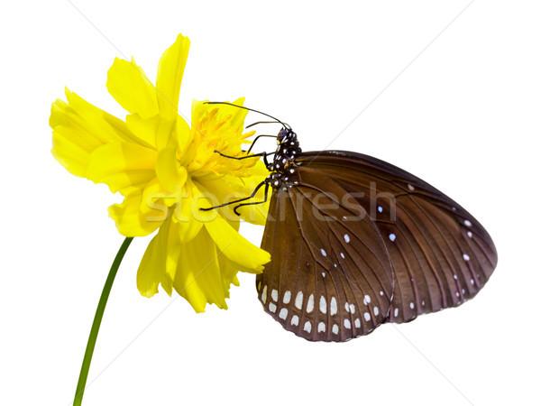 Fekete pillangó közelkép nektár citromsárga virág Stock fotó © Yongkiet