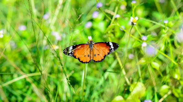 Plain Tiger butterfly ( Danaus chrysippus ) Stock photo © Yongkiet