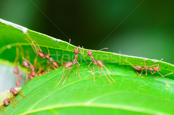 Weaver Ants or Green Ants (Oecophylla smaragdina) Stock photo © Yongkiet