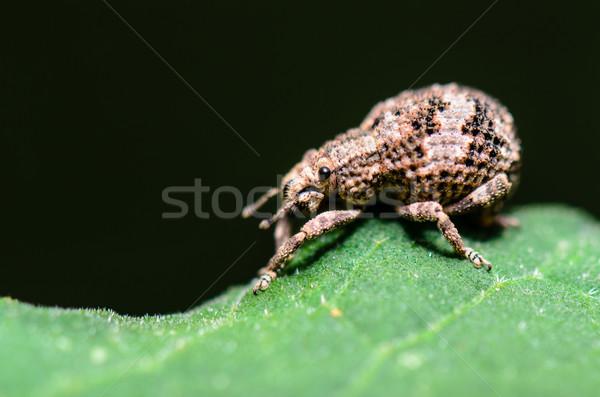 Macro Otiorhynchus Scaber or Weevil Stock photo © Yongkiet