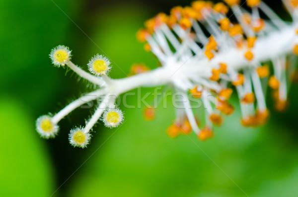 Stok fotoğraf: Beyaz · ebegümeci · çiçekler · kar · tanesi · soyut