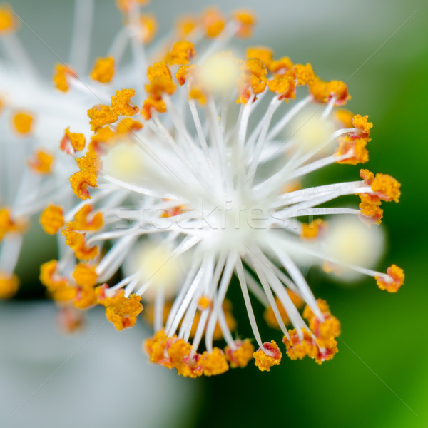 白 ハイビスカス 花 スノーフレーク 自然 ストックフォト © Yongkiet