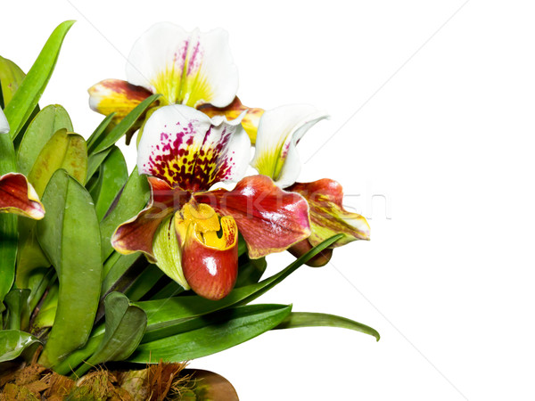 Slipper Orchid ( Paphiopedilum ) Exotic flowers isolated on whit Stock photo © Yongkiet