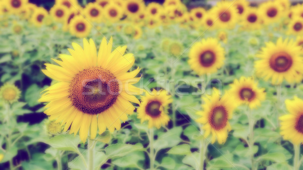 Vintage style blur background of the Sunflower Stock photo © Yongkiet
