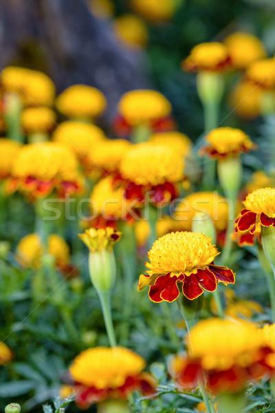 Tiger Eye French Marigold Stock photo © Yongkiet