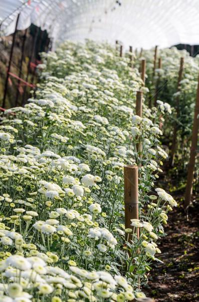 Weiß Chrysantheme Blumen Betriebe innerhalb Gewächshaus Stock foto © Yongkiet