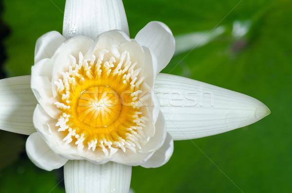 White lotus flower Stock photo © Yongkiet