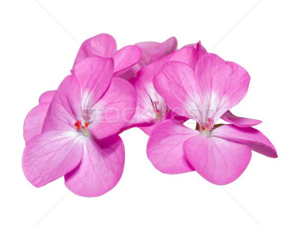 Pink Geranium ( Palargonium x hortorum ) flowers isolated on whi Stock photo © Yongkiet