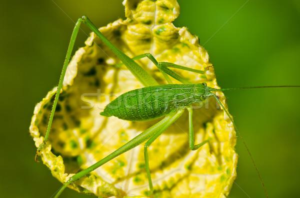 Speckled Bush Cricket  ( Leptophyes punctatissima ) Stock photo © Yongkiet