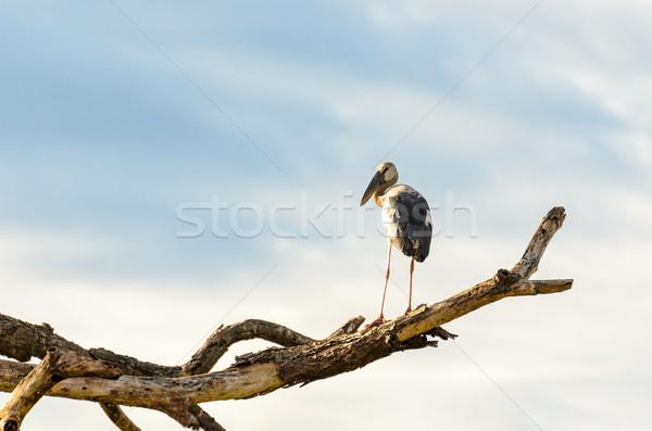 Asian Openbill (Anastomus oscitans) White bird standing alone Stock photo © Yongkiet