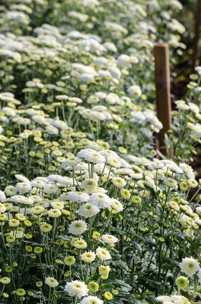 Beyaz krizantem çiçekler çiftlikleri içinde sera Stok fotoğraf © Yongkiet