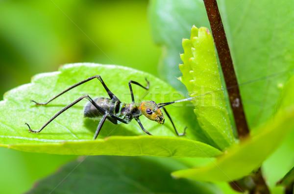 Ant-mimic Cricket Stock photo © Yongkiet