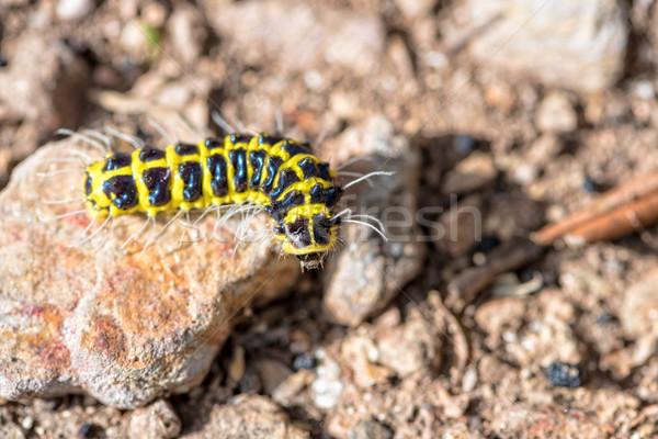 Viaggio piccolo worm primo piano nero giallo Foto d'archivio © Yongkiet