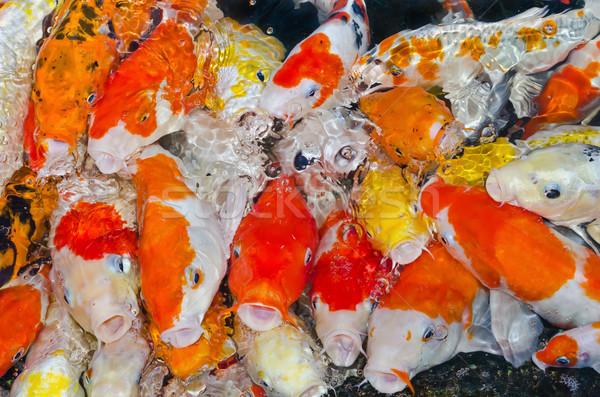 Renkli çok koi balık sazan birlikte Stok fotoğraf © Yongkiet