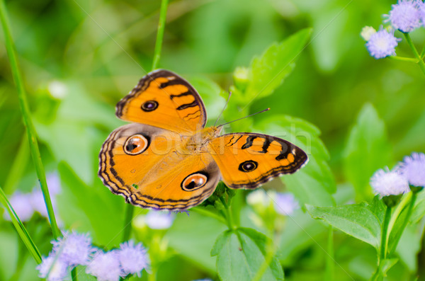 Peacock pansy butterfly Stock photo © Yongkiet